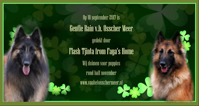 Op 18 september 2017 is Gentle Rain v.h. Osscher Meer gedekt door Flash Tjinta from Faya's Home Wij duimen voor puppies  rond half november www.vanhetosschermeer.nl